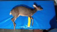 Carpintería: rescataron una sachacabra lastimada